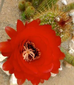 red bloom on cactus_tom seliskar