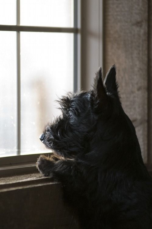 scottish terrier_window
