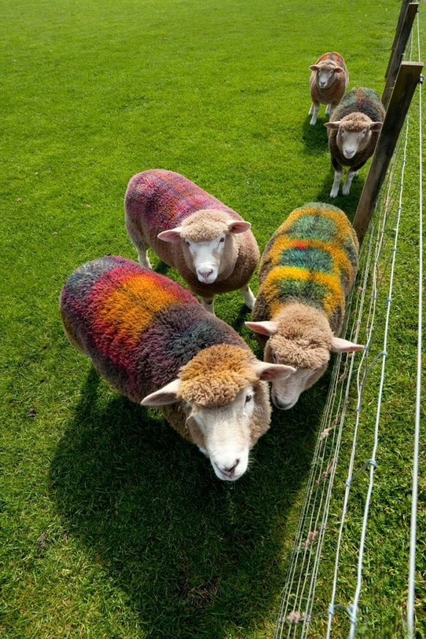 tartan sheep