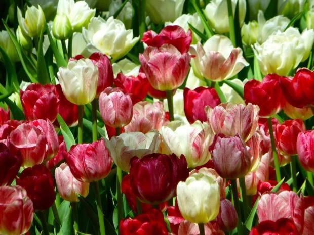 Varieties of red tulips_Tom Seliskar