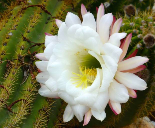 white bloom_cactus_tom seliskar