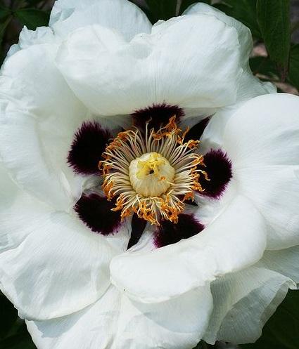 White Peony Rockii Original by Pia´s Garden
