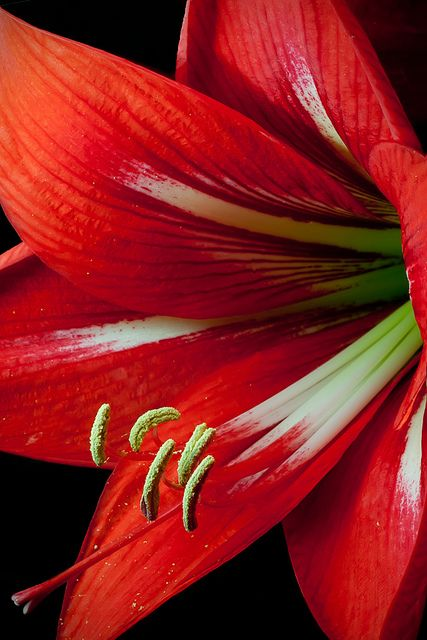 Amaryllis by paulfarrellphoto