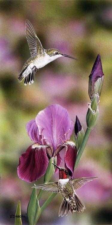hummingbird_iris