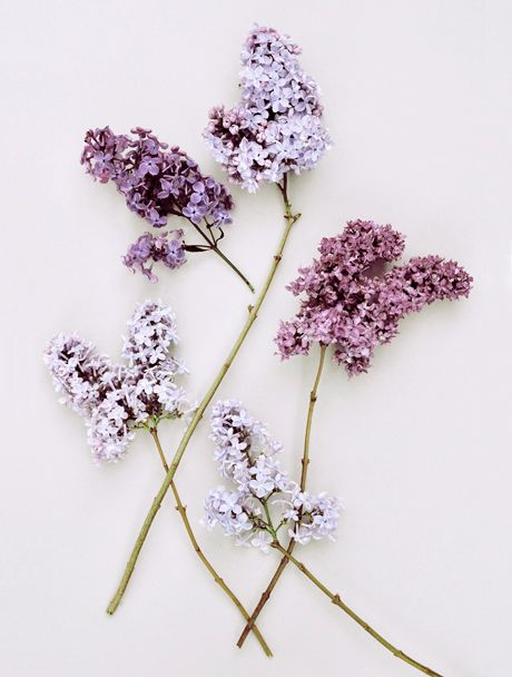 lilacs stripped down