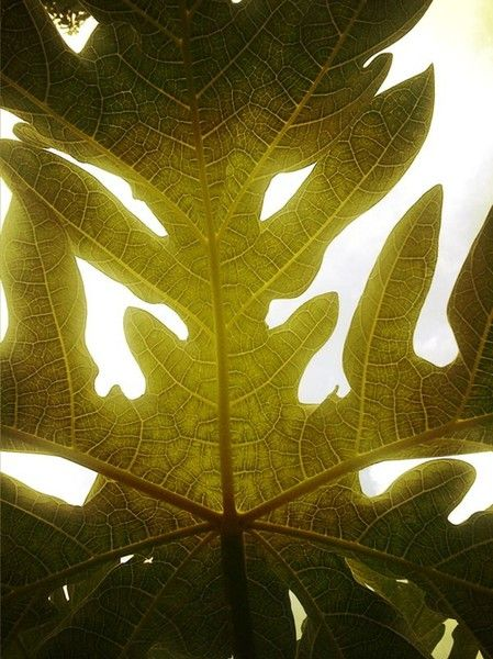 PAPAYA LEAF CLOSE UP BY RAYMOND BARBEROUSSE