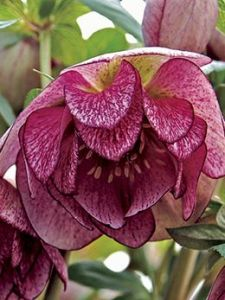 Peppermint Ice hellebore