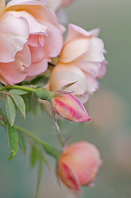 pink rose blooms and buds
