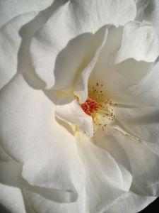 soft white petals