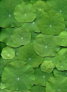 54647-01 Tropaeolum majus by horticultural art