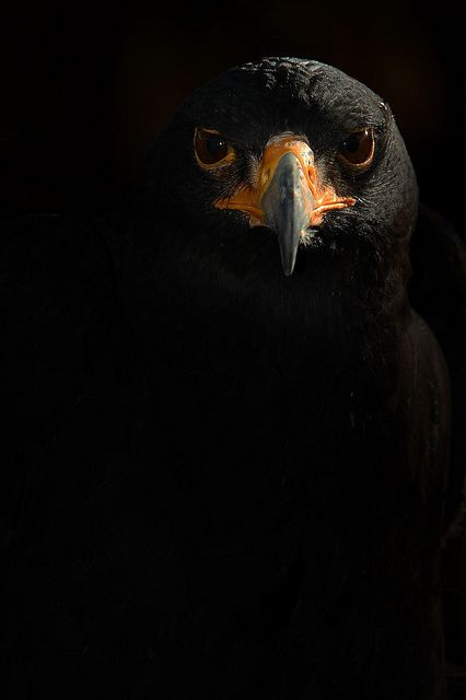 Black Eagle by Another Timothy