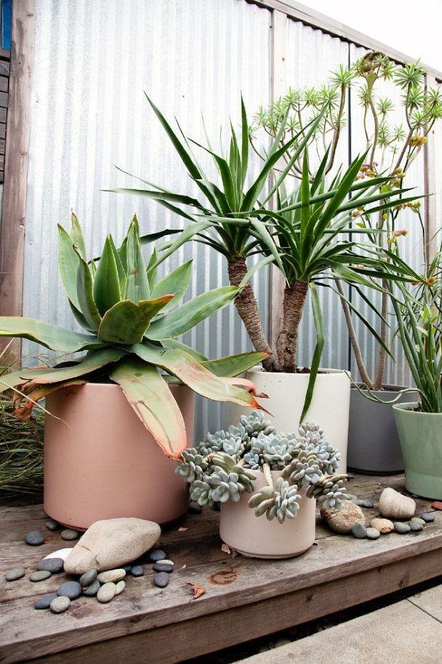 cactus in pots