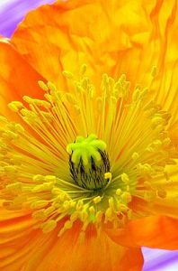Orange Poppy by Andy Small