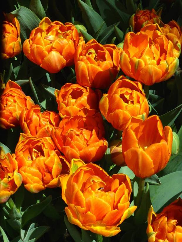 Orange tulips at the Belagio_Tom Seliskar