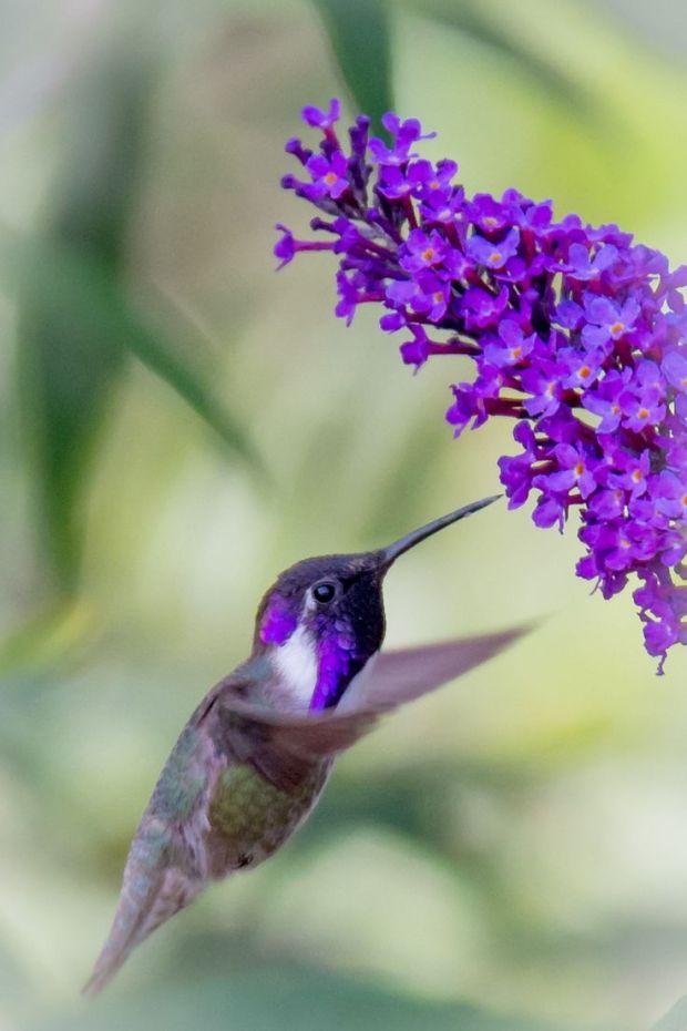 A Purple Casta's Hummingbird Feeding on a purple flower