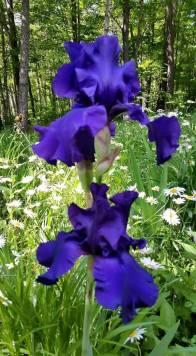 Renae's Irises