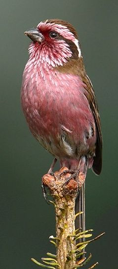 White-browed Rosefinch by James Ownby