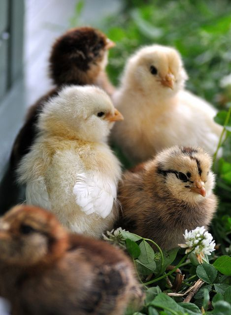 Araucana and Americana Chicks by Will Merydith