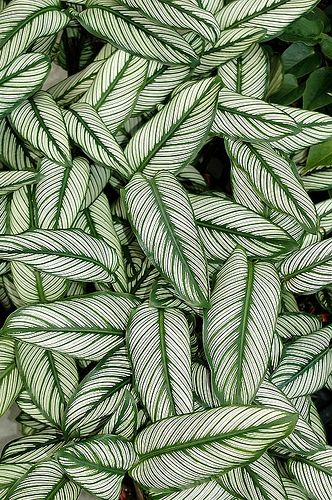 Calathea ornata cv 01 by chenkuntsan