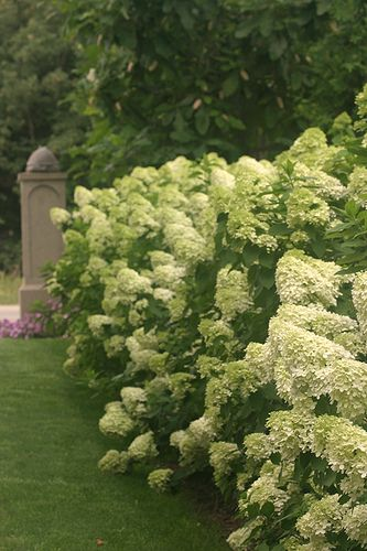 Limelight Hydrangea hedge by Proven Winners