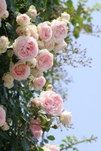 pink heirloom roses