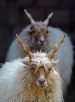Racka Sheep from Hungary