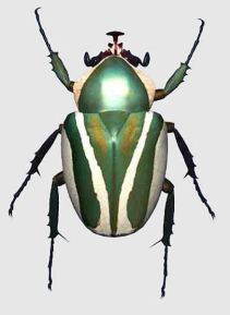 scarab bettle