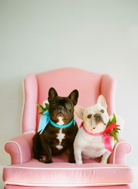 French Bulldogs on indulgydotcom