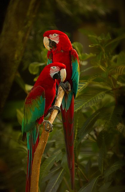 Green-winged Macaws by hurgleburgle on Flickr