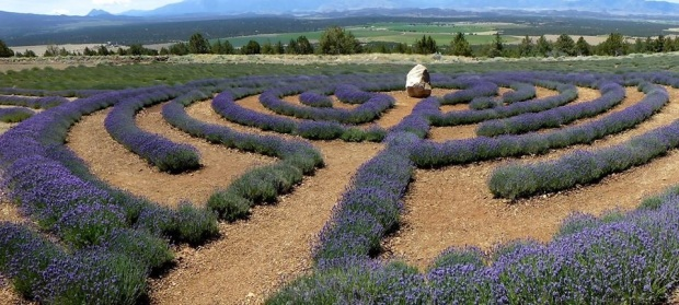 lavendar labrynth_Tom Seliskar