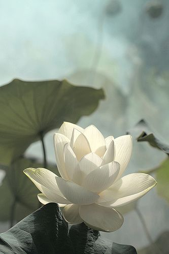 Lotus Flower - IMG_0225-1 by Bahman Farzad