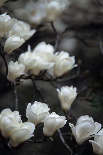 magnolia 4 by Sky-Genta