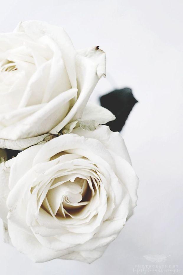 white rose blooms
