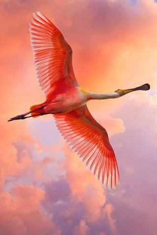 Free-flying Spoonbill