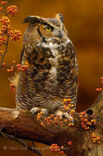 Owl by Mark Graf