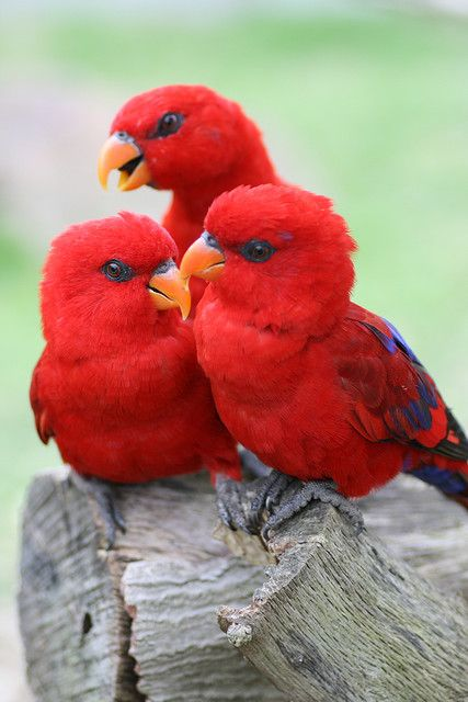 red lories photo by chinnchiyuu