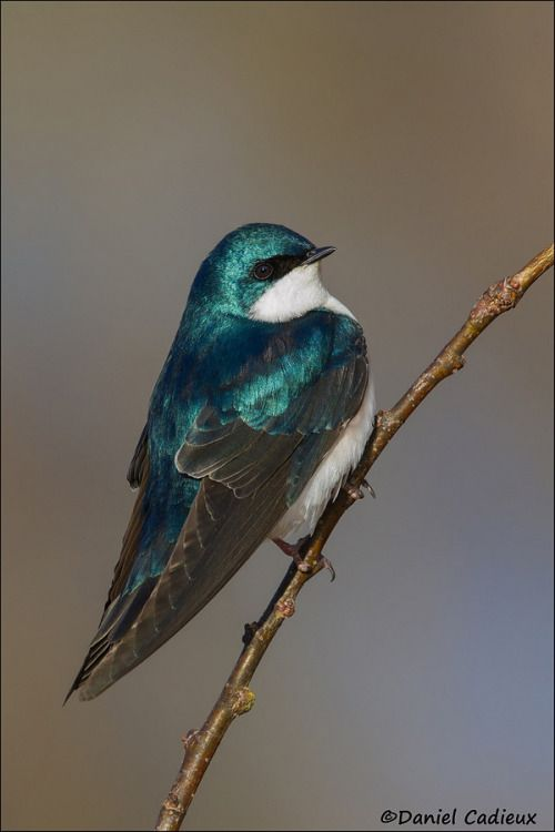 Tree Swallow by Daniel Cadieux on 500px