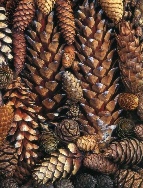 Pinecones from TheFullerView