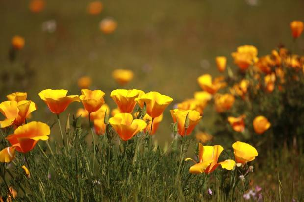 California Poppy Time by Iwona Wirkus