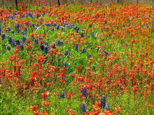 Texas Hill Country Flower Frolic by Tom and Kay Seliskar