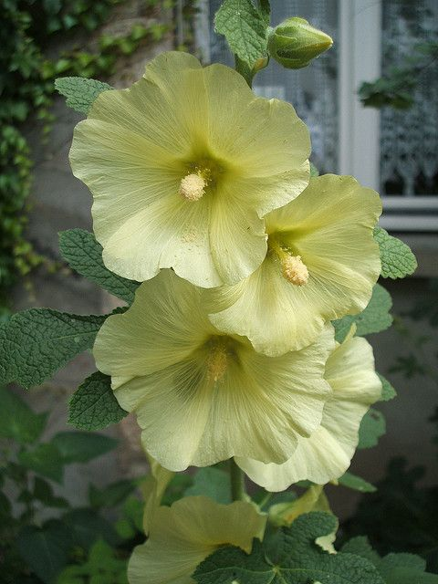 Alcea rugosa, photo by Quentin6 on Flickr