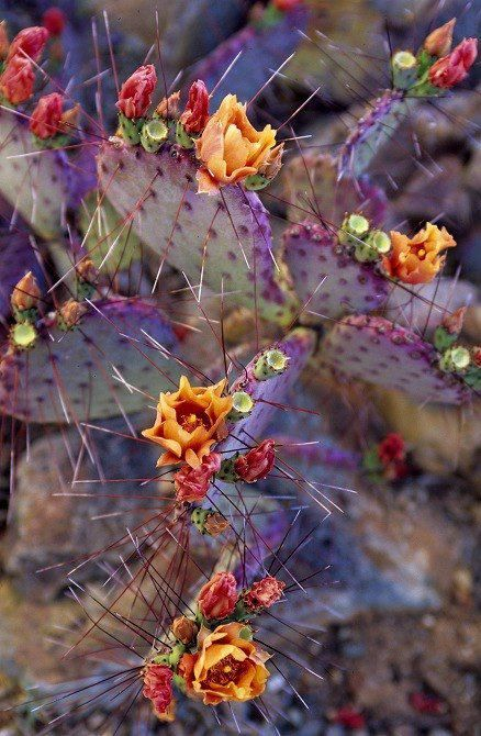 Purple prickly pear cactus in bloom in Arizona