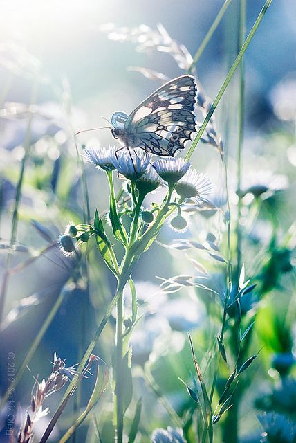 Waking Dream, Melanargia galathea, photo by Serkiz Oleg on Flickr