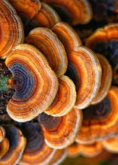 Bracket Fungi found on Petit Cabinet de Curiosites