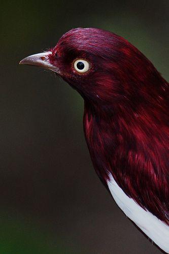 burgandy bird