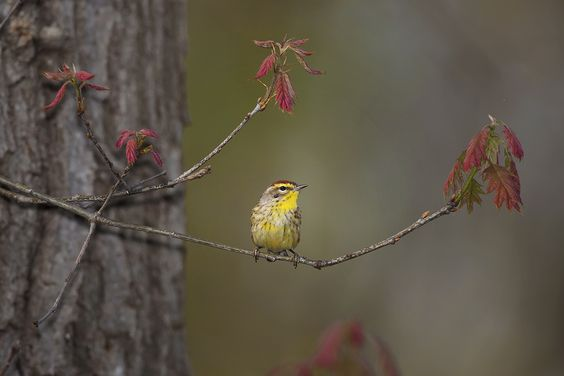 Palm Warbler by Ron Pile, Second Nature Images