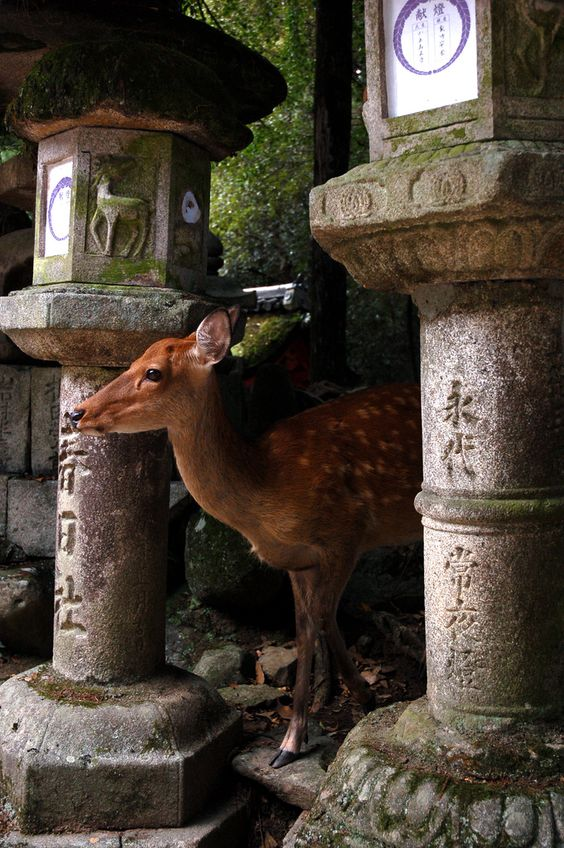 Sacred deer, Kasuga Grand Shrine - Nara, Japan