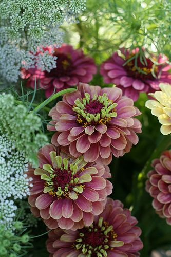 Zinnia Queen Red Lime, photo by Erin Benzakein, Floret Flower Farm on Flickr