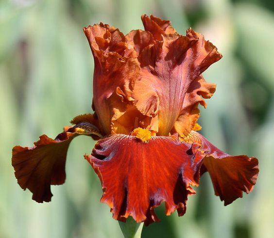 tb-iris-germanica-rustler-keppel-1987