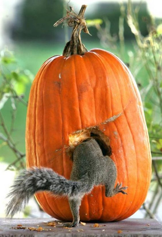squirrel-in-pumpkin